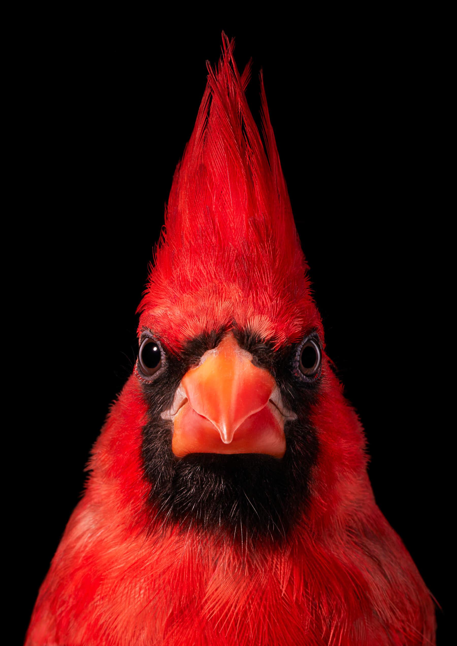 Tim Flach Virginia Cardinal